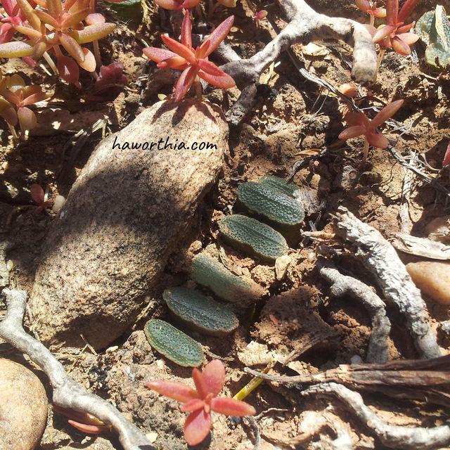 H. truncata in its native habitat