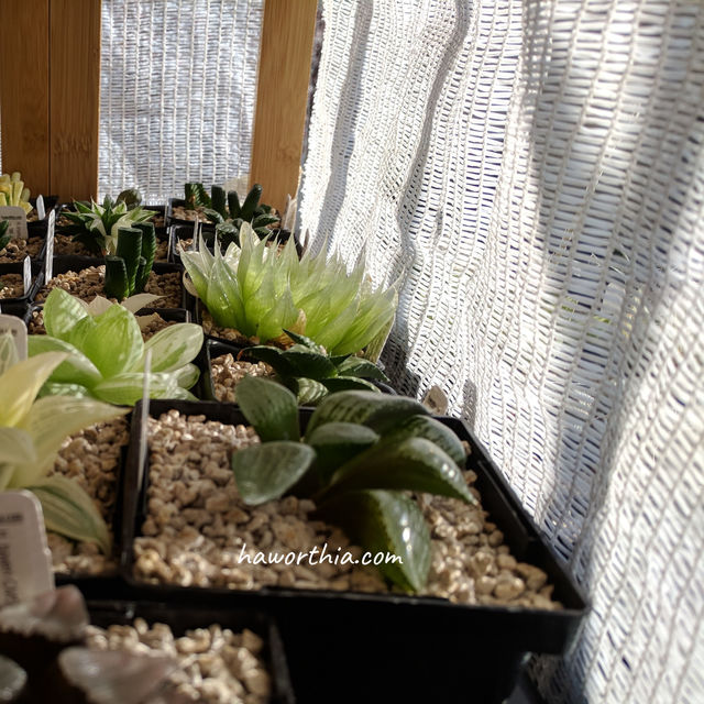 The shade fabric protects newly planted Haworthias from direct sunlights.