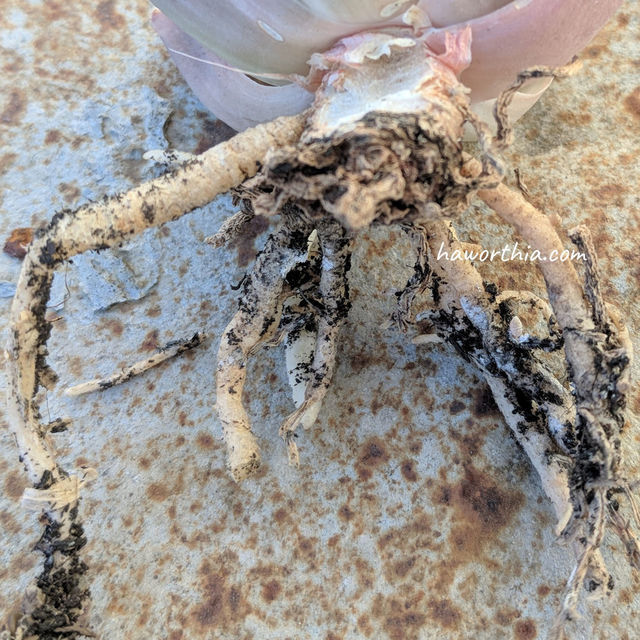 Root mealybugs often leave white markings on roots.