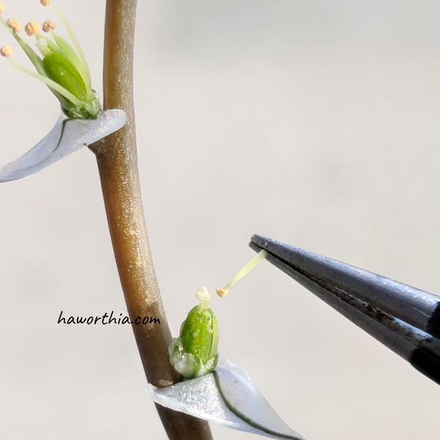 Pollinated stigma