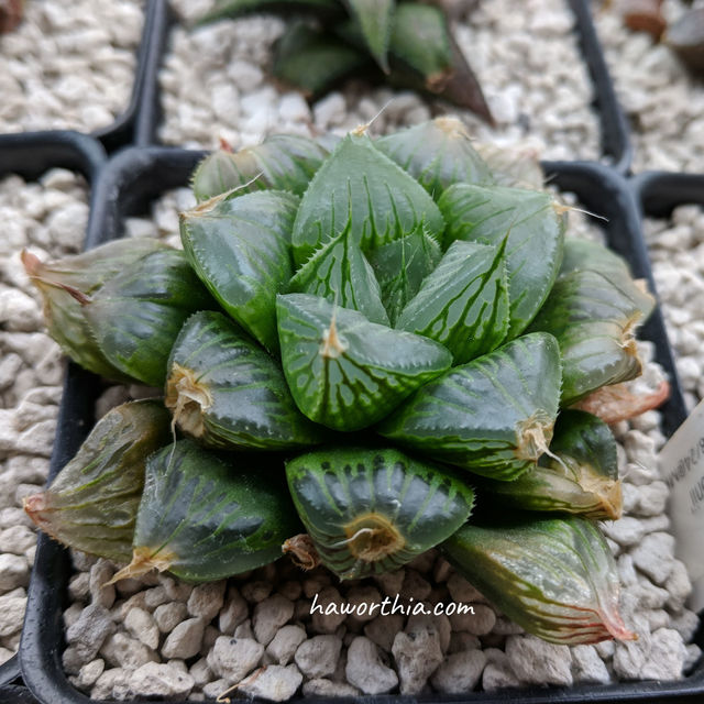 A H. cooperi hybrid with wilted leaf tips. The new leaves growed after winter don't have this problem.