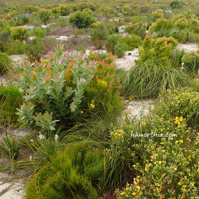 Overberg sandstone fynbos with diversity akin to a coral reef.