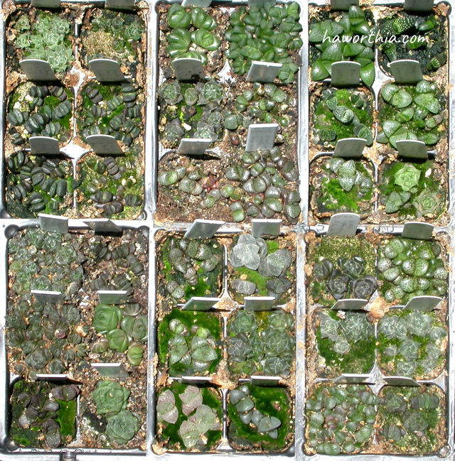 This photo shows six 6-pack seedling pots (36 1-inch pots) of various Haworthias at the age of seven months.